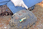 Installing Radio Tag On Desert Tortoise