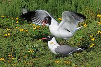 Laughing Gulls, mating season, Rockport, Texas