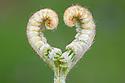 Emerging Bracken {Pteridium aquilinum} frond making a natural heart shape. Isle of Ulva off the Isle of Mull, Scotland, UK. June.