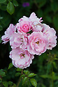 Rosa Bonica ('Meidomonac'), early August. A modern shrub rose producing dainty clusters of attractive, small to medium-sized rose-pink flowers. It produces its flowers very freely and repeats well.