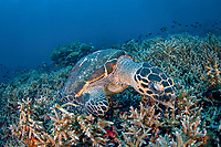 hawksbill sea turtle, Eretmochelys imbricata, feeding sponges among staghorn corals, Acropora sp., Komodo National Park, Lesser Sunda Islands, Indonesia, Indo-Pacific Ocean