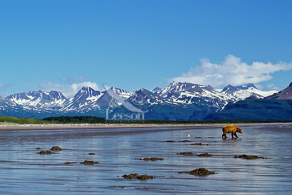 Grizzly Bear or Coastal Brown Bear (Ursus arctos) clam digging, Alaska Peninsula.  July.