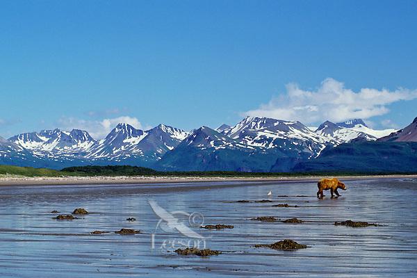 Grizzly Bear or Coastal Brown Bear (Ursus arctos) clam digging, Alaska Peninsula.  July.
