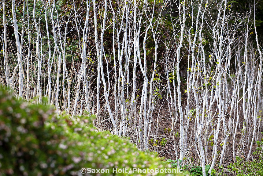White bark alder trees framed by manzania, East Bay Regional Parks Botanic Garden, California native plant