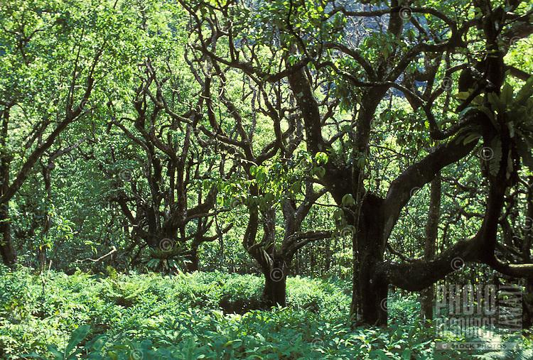 Incredible lush rainforest near pristine Wailau Valley on Molokai's north coast.