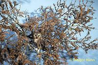 OW17-001z  Saw-whet owl - camouflaged - Aegolius acadicus