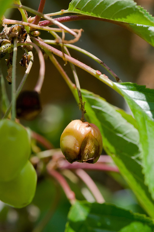 Split skins or damage by feeding birds allow bacteria to enter the fruits and cause them to rot.