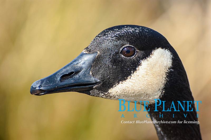 Canada goose, Branta canadensis, Burnaby Lake Regional Park, Burnaby, British Columbia, Canada