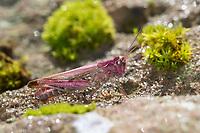 Brauner Grashüpfer, Feldheuschrecke, Weibchen, Chorthippus cf. brunneus, Glyptobothrus cf. brunneus, Chorthippus cf. bicolor, Stauroderus cf. brunneus, field grasshopper, common field grasshopper, female, le criquet duettiste