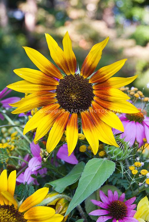 Helianthus sunflowers cut flowers vase, bicolored blooms with Echinacea purpurea coneflowers in summer casual arrangement