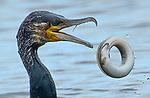 Cormorant tosses eel up in a defensive hoop shape by Tony Wootton