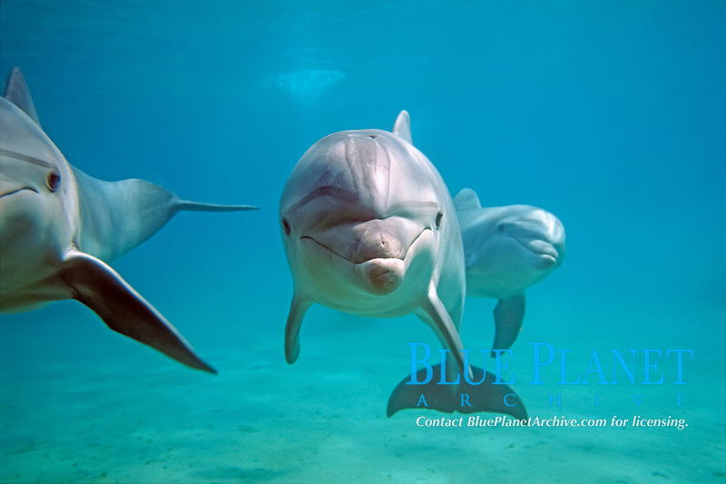 common bottlenose dolphin, Tursiops truncatus, Israel, Red Sea, Indian Ocean