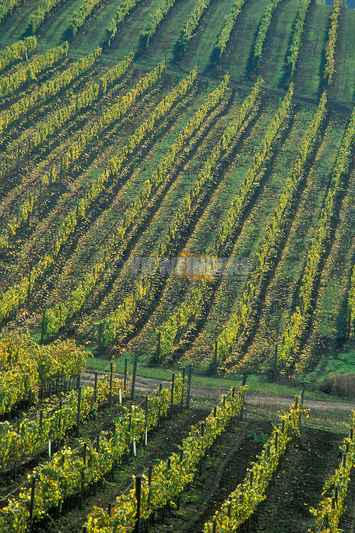 Rows of grape vines on hillside at David Hill Vineyards and Winery; Forest Grove, Oregon..#9031-2513
