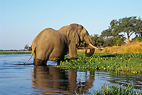 Large african elephant bull feeding along the edge of the Zambezi River in Mana Pools National Park, Zimbabwe.