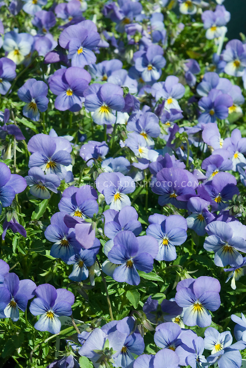 Viola Sorbet Blueberry Cream (blue flowered spring perennial) showing many flowers in bloom filling entire frame