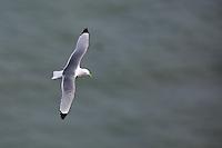 Kittiwake in flight at Bempton