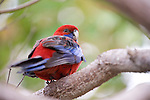 La Jolla, California; Crimson Rosella (Platycercus elegans) parrot sitting on a tree branch,  native to eastern and south eastern Australia, it has also been introduced to New Zealand and Norfolk Island. It is commonly found in, but not restricted to, mountain forests and gardens.
