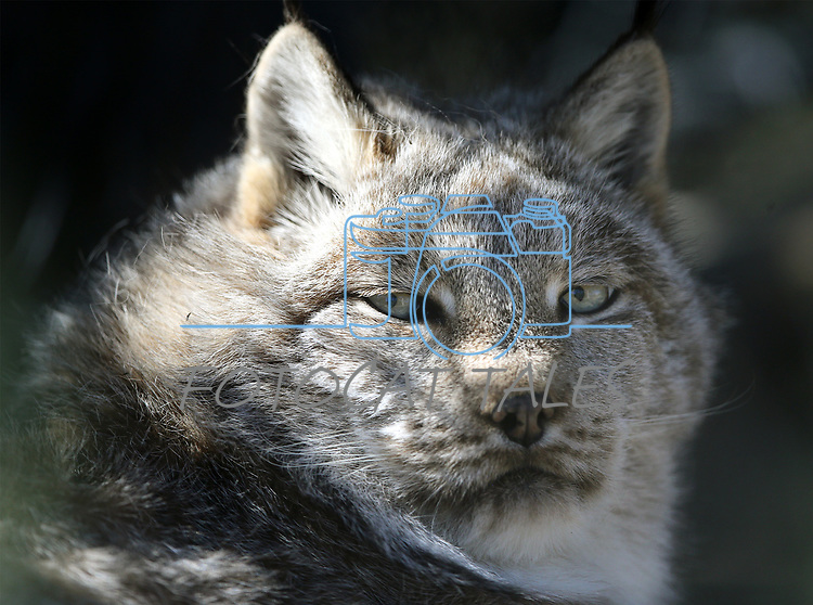 Legend, a lynx, watches a visitor at Animal Ark Wildlife Sanctuary, north of Reno, Nev., on Monday, May 1, 2017. <br />Photo by Cathleen Allison/Nevada Photo Source