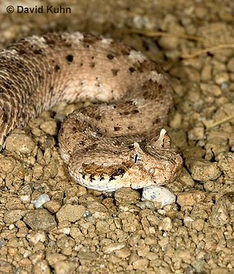 1120-0801  Sidewinder Rattlesnake (Horned Rattlesnake), Crotalus cerastes © David Kuhn/Dwight Kuhn Photography