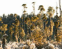Young kahikatea trees on frosty sunrise, Westland Tai Poutini National Park, UNESCO World Heritage Area, West Coast, New Zealand, NZ