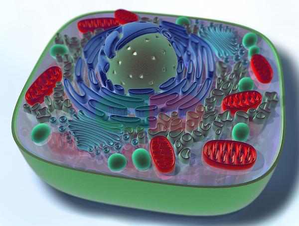 "This 3D medical illustration shows the components of a ""typical"" animal cell, includng the nucleus, endoplasmic reticulum, mitochondria, lysosome, and golgi apparatus."