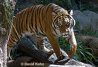 0328-1004  Malayan Tiger, Panthera tigris malayensis  © David Kuhn/Dwight Kuhn Photography.