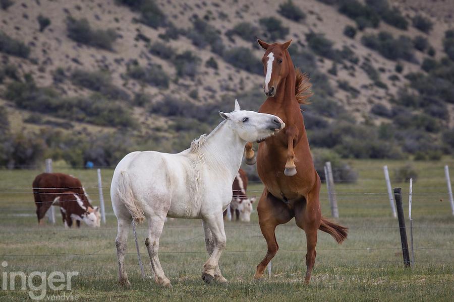 Horses playing at Estancia La Angostura in Patagonia