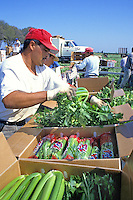 Migrant workers harvesting celery, Brawley, California