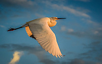 Fine Art Print, Nature Photograph of a Snowy Egret flying against a blue sky during a golden sunset.