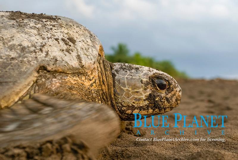 Green Sea Turtle returning to sea after nesting. Chelonia mydas. Tortuguero, Costa Rica.