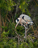 Great Blue Heron in breeding Plumage, scratching face standing in vegetation in Everglades National Park
