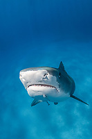 tiger shark, Galeocerdo cuvier, at Tiger Beach; a famous shark diving site on Little Bahama Bank in the Bahamas, Atlantic Ocean