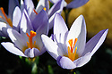 Crocus sieberi subsp. atticus. From Greece.