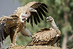 """Pictured: A daring vulture swooping in attempts to land a high kung-fu kick on another vulture as they battle for food on the side of the road near Narkana, India. <br /> <br /> The spectacular scene that could almost have been from a movie was caught by Samyak Kanide, a wildlife photographer from Prune City, India.<br /> <br /> The pair of vultures, of which are part of an endangered species we caught fighting over a cow carcass. <br /> <br /> Mr Kanide said """"A dead cow by the roadside attracted a group of Himalayan Griffon Vultures that were feeding on the carcass. But, soon the fight broke between the group of vultures who were dominating over each other over the feeding rights of delicious parts of the carcass."""" <br /> <br /> """"The fight was spontaneous and lasted anywhere between a minute or two over the feeding rights of the carcass.""""<br /> <br /> Please byline:Samyak Kaninde/Solent News<br /> <br /> © Samyak Kaninde/Solent News & Photo Agency<br /> UK +44 (0) 2380 458800"""