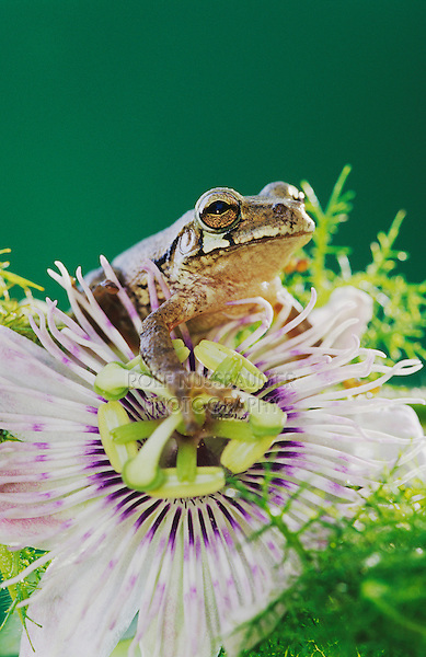 Mexican Treefrog, Smilisca baudinii, adult on Passion Flower, Cameron County, Rio Grande Valley, Texas, USA