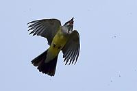Western Kingbird catching bug, San Angelo