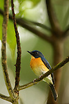 Large-billed Blue-Flycatcher (Cyornis caerulatus) male, Tawau Hills Park, Sabah, Borneo, Malaysia