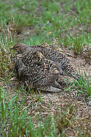 Blue Grouse or Sooty Grouse (Dendragapus fuliginosus) hen warming chicks on cool morning in a subalpine meadow.  Pacific Northwest.  Summer.