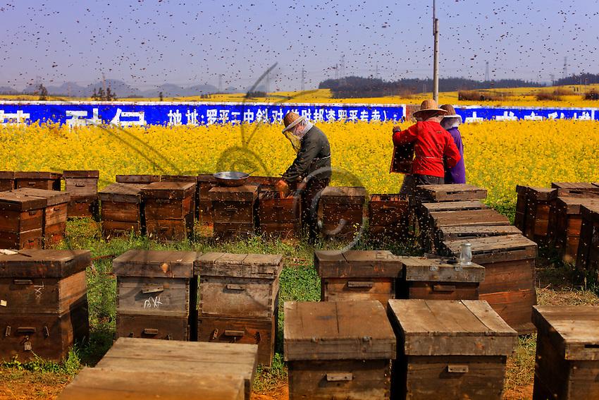 Luoping, Yunnan. Des centaines d'apiculteurs sont arrivés à la mi-février pour produire du miel sur les immenses étendues de champs de colza autour de la région de Luoping.///Luoping, Yunnan. Hundreds of beekeepers arrived in mid-February to produce honey on the immense stretches of rape fields in the region of Luoping.