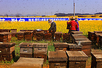 Luoping, Yunnan. Des centaines d'apiculteurs sont arrivés à la mi-février pour produire du miel sur les immenses étendues de champs de colza autour de la région de Luoping.///Luoping, Yunnan. Hundreds of beekeepers arrived in mid-February to produce honey on the immense stretches of rape fields in the region of Luoping.