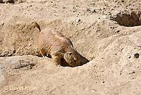 0601-1008  Black-tailed Prairie Dog Entering Burrow Hole, Cynomys ludovicianus  © David Kuhn/Dwight Kuhn Photography