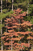 Flowering dogwood (Cornus florida) and Loblolly Pine (Pinus taeda), fall colors, Raven Rock State Park, Lillington, North Carolina, USA