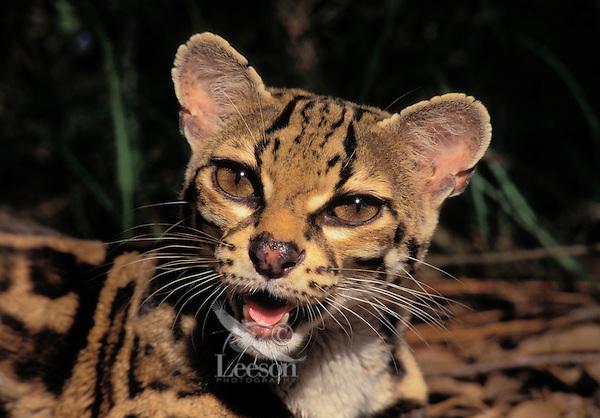 MARGAY. Native to Central America. (Felis wiedii).