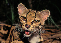 MARGAY. Native to Central America. (Felis wiedii).