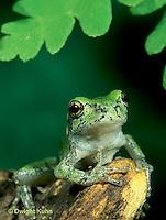 FR10-040f  Gray Tree Frog - Hyla versicolor