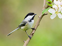 black-capped chickadee, Poecile atricapillus, perched in flowing tree in spring time, Nova Scotia, Canada