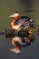 Red-Necked Grebe on Nest. Floating nest is made of mud, twigs and pond vegetation. Jasper National Park, Alberta, Canada. Spring. (Podiceps grisegena).