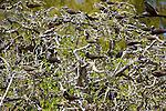 """Noddi brun (anous stolidus) Réserve naturelle de l'île aux Cocos..Brown noddy  Cocos island, nature reserve dedicated to birds..Pecheurs à la senne, lagon de Rodrigues..Fishermen with """"senne"""" nets on the Rodigues lagoon"""