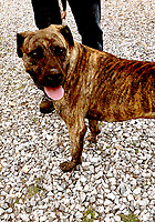 Lynn Atkins/The Weekly Vista<br /> Kong is a neutered male, about two years old. He's a mastiff mix who loves people, Bella Vista Animal Shelter staff said. To adopt any of the dogs or cats at the shelter, visit 32 Bella Vista Way or call 479-855-6020.