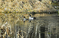 Male and female goldeneye ducks couple cruise across a pond. The surrounding aspen forest reflecting in the water.